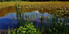 Cattails At Harding Spring Pond
