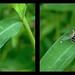 Eristalis Arbustorum Hoverfly 1 - Crosseye 3D