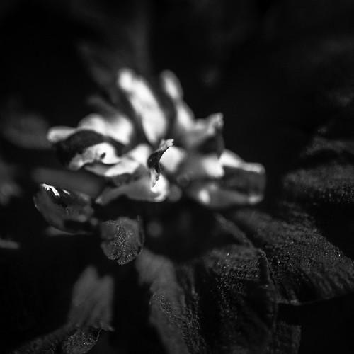 100mm bayoubend harriscounty houston tx texas us usa unitedstates unitedstatesofamerica blackandwhite bluedelphinium bluedelphiniums delicate delphinium delphiniumelatum delphiniums elatum fineart fineartphotography flower flowers image intimatelandscape larkspur macro nature petal petals photo photograph photography plant spring springtime squarecrop f28 mabrycampbell march 2013 march122013 201303120h6a1264 ¹⁄₈₀₀₀sec 400 ef100mmf28lmacroisusm fav10