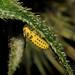 22-spot ladybird (Psyllobora 22-punctata) larva