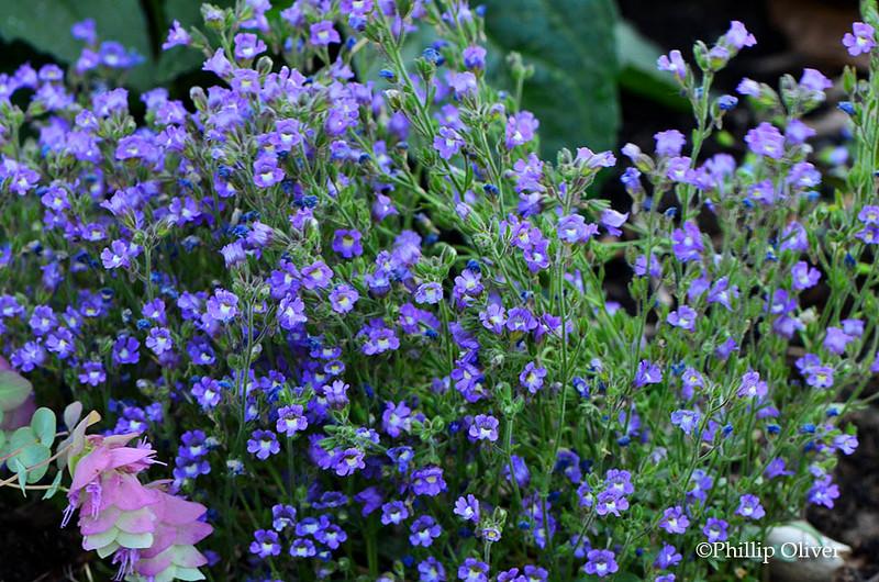 "Chaenorrhinum-origanifolium ""Summer-Skies'"