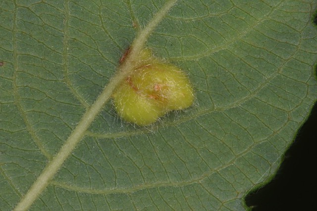 Galle d'Euura pedunculi (Pontania pedunculi) sur saule marsault.