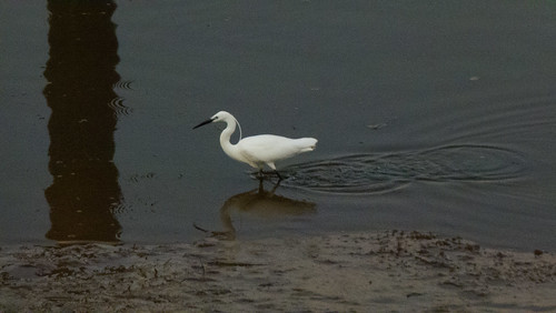 Egret with long plume, fishing