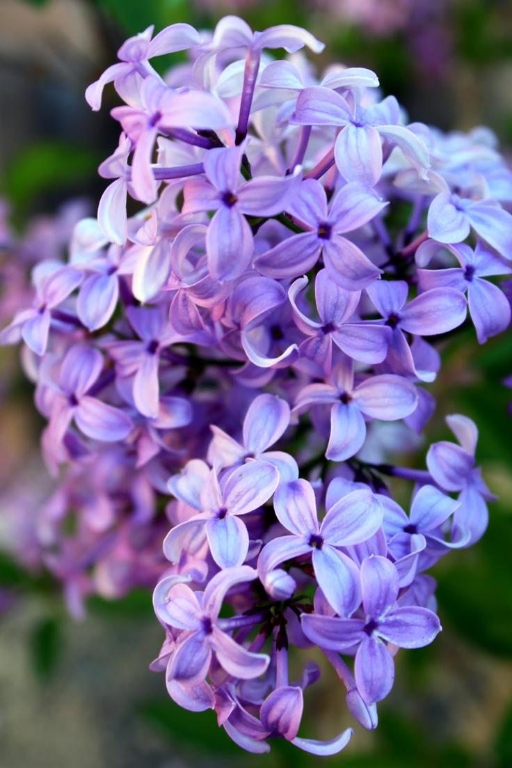 b357c3b17c8a9955d8f52a538c4edd77--lilac-tree-purple-lilac