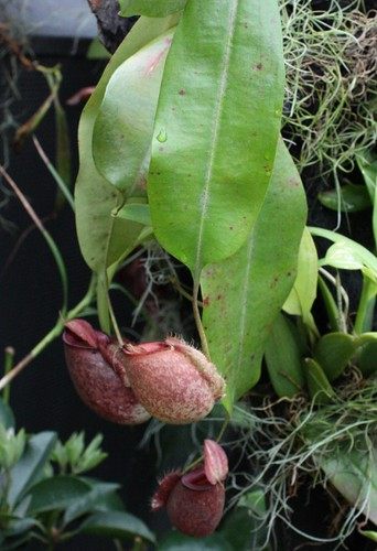 nepenthes_xhookeriana