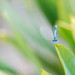 Damselfly | Waterjuffer