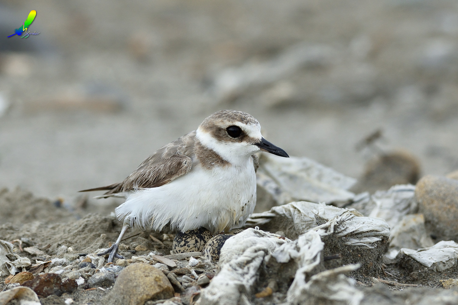 Kentish_Plover_8632