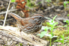 Song Sparrow (Rusty Form) 5-31-17 Ridgefield National Wildlife Reserve- Carty Unit
