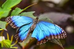Guindineau bleu de Morpho