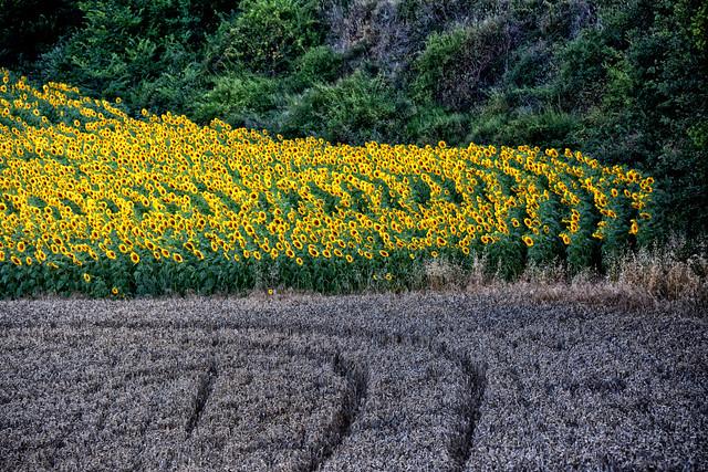 Castilla: Girasoles - Sunflowers - Girasoli - Tournesols