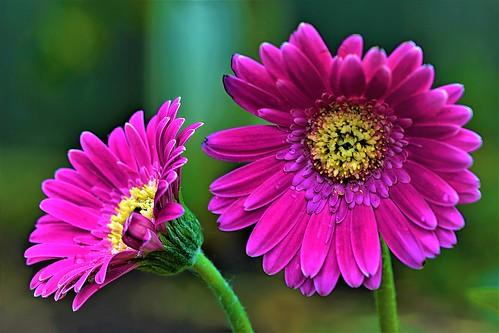 Perfect Pair of Pink Gerbena