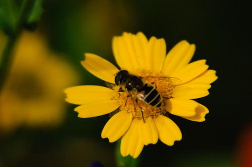Corn marigold, Bantock Park