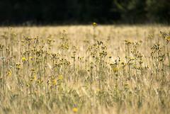Ecological barley field
