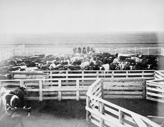 Cowboys round up cattle into a corral / Cowboys rassemblant du bétail dans un corral