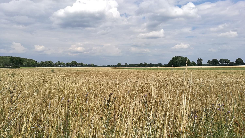 Steinfeld-Getreide
