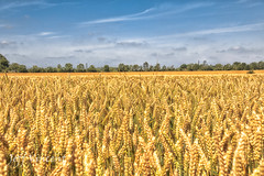 I'm walking to a farm to grow wheat, I'm walking to a farm to grow wheat, The sky is blue, the sun is yellow, I'm walking to a farm to grow wheat. -Ivor Cutler
