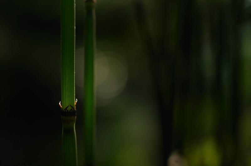 茎に透過光