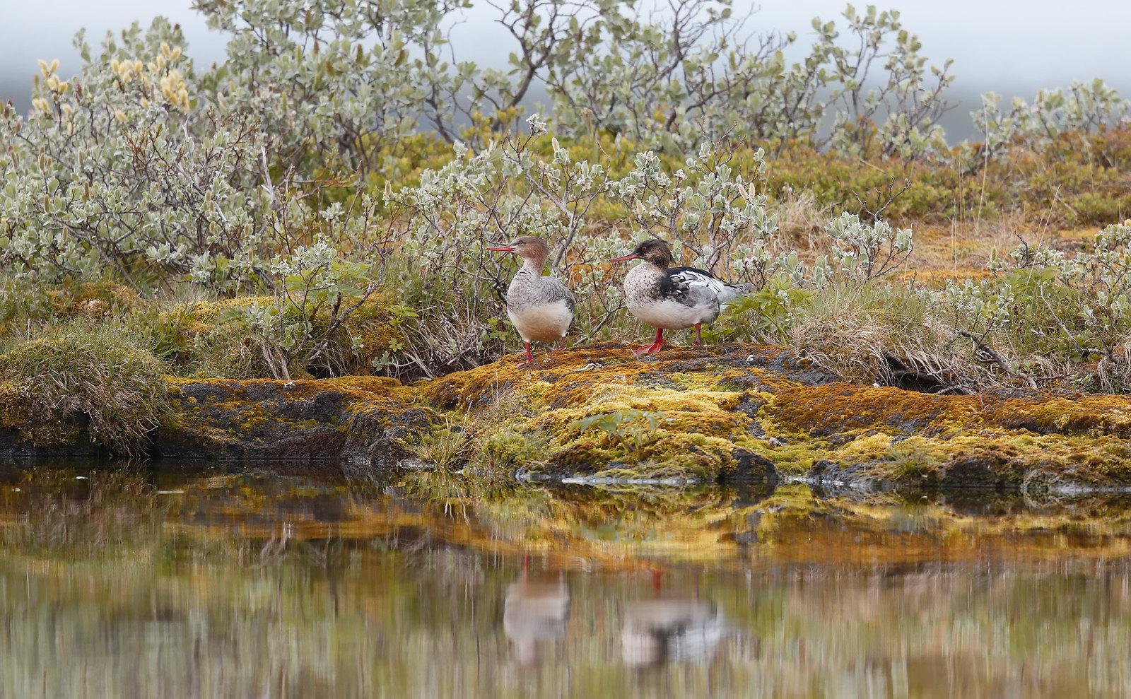 Red-breaster Merganser pair