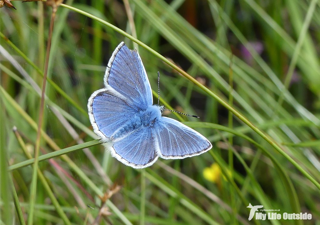 P1100067 - Common Blue, Glengorm