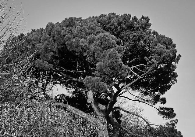 Le grand pin