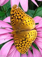 Great Spangled Fritillary Butterfly 20170702_140937-8.jpg