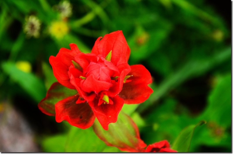 Paintbrush flower (2)
