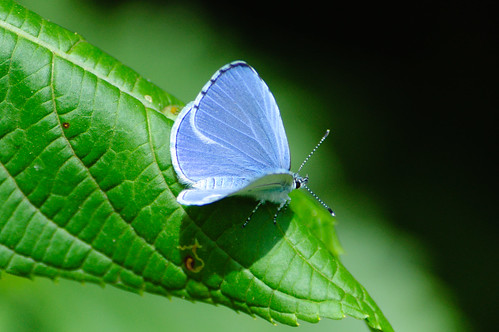 Holly blue butterfly on a leaf