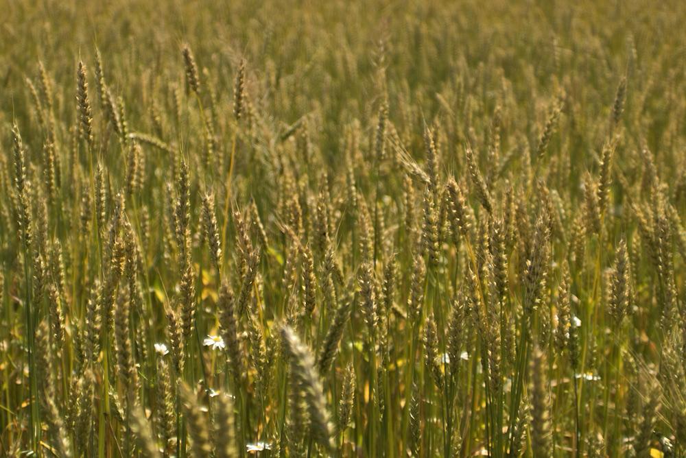 Пшеница_DSC06287