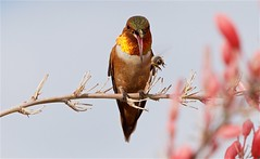 Rufous hb and Bee