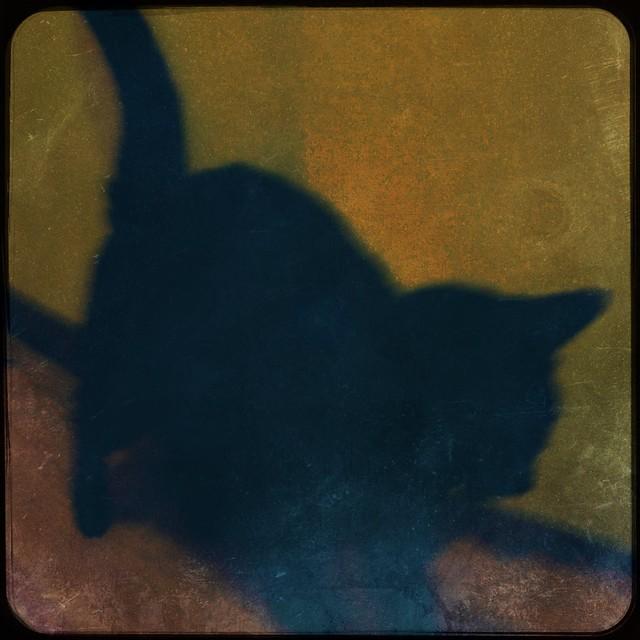 Bela Lugosi the cat