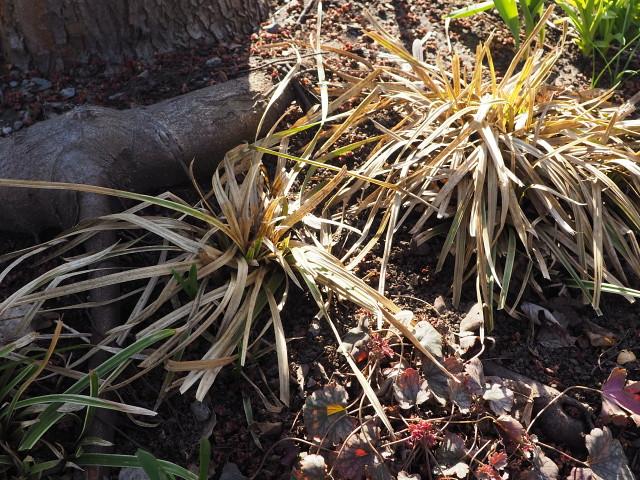 Carex morrowii 'Ice Dance' 36261845325_82d100ab2b_z
