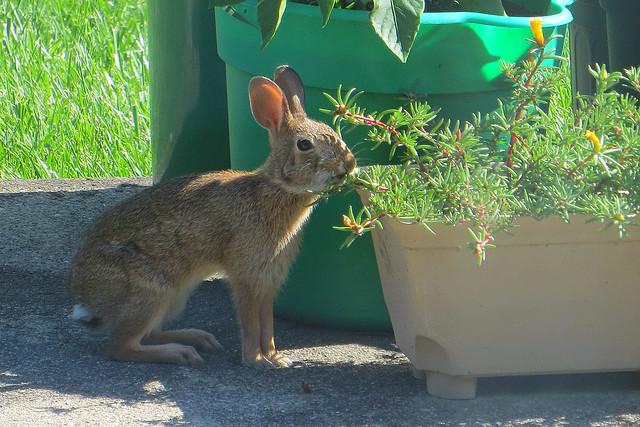 Rabbit on the patio 9 July 2017 5641ri 4x6