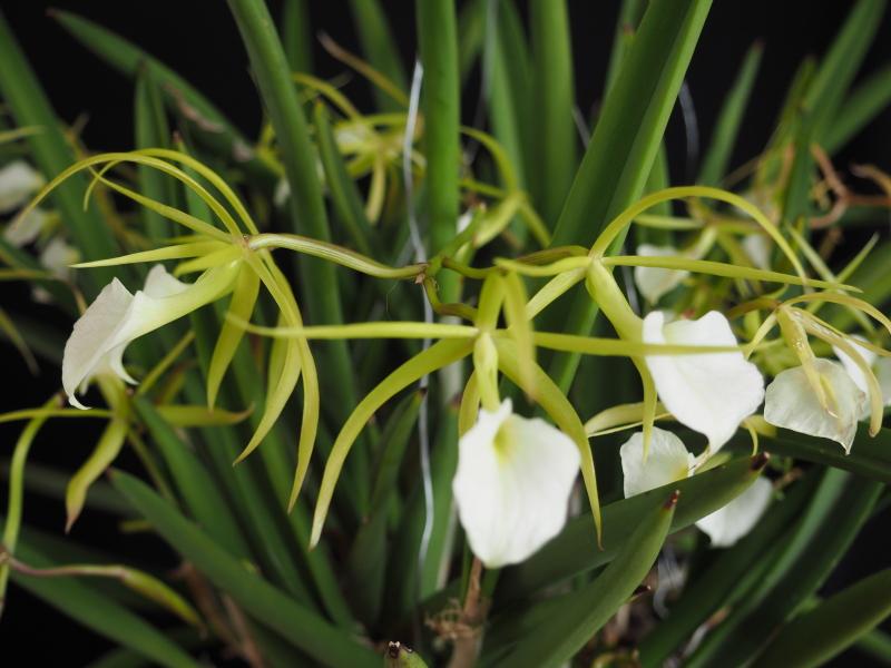 Les orchidées de Cloo, saison 2017 35071069443_eaf0a85ecc_o