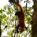Red Panda (Pradeep Singh)