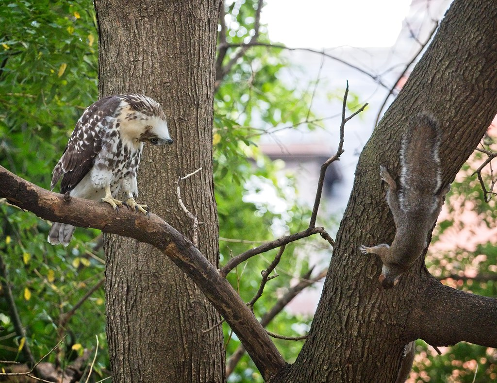 Tompkins fledgling #2 with a squirrel