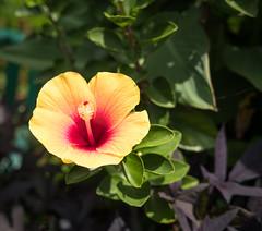 Yellow Hibiscus, Dallas Arboretum