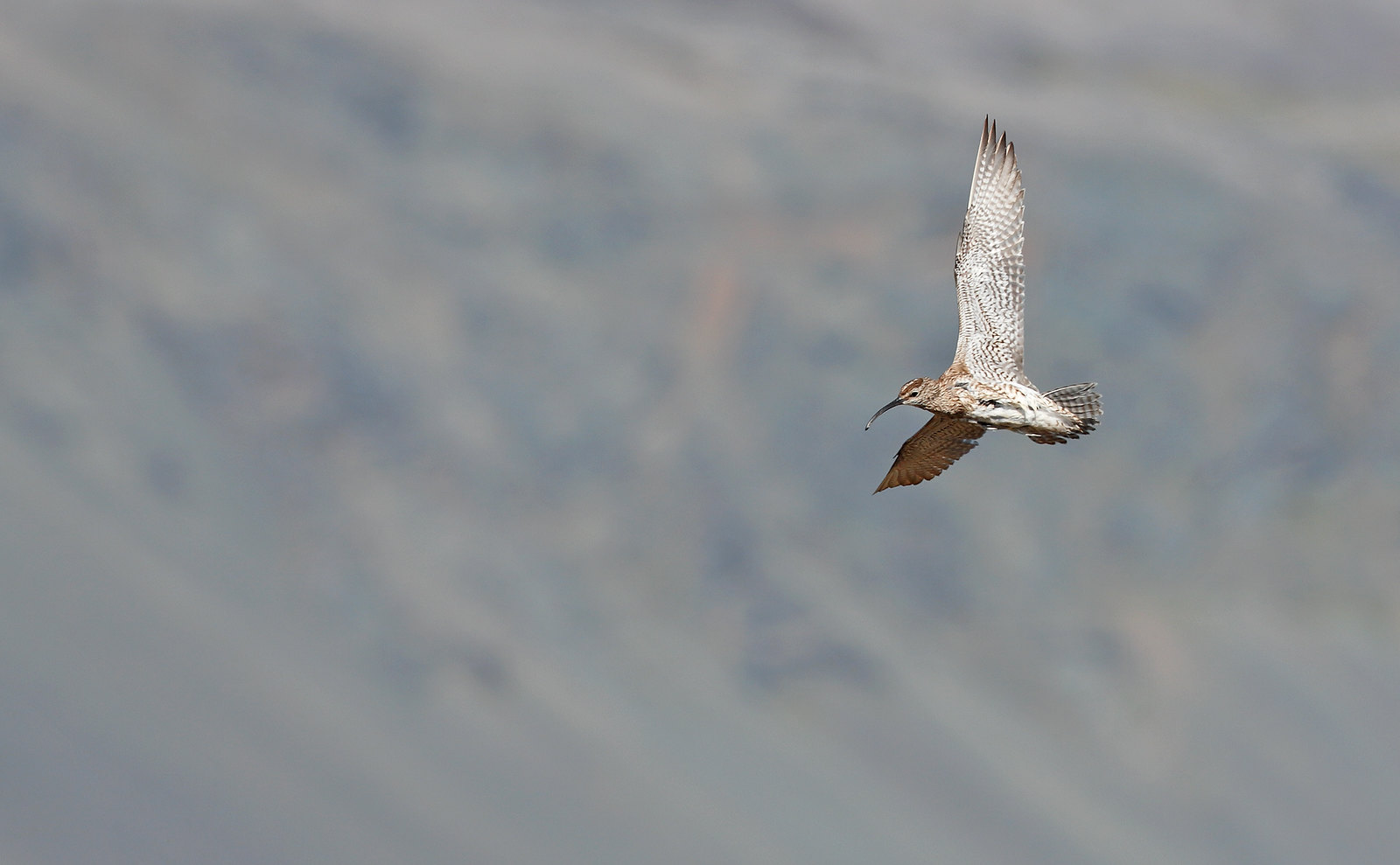 Whimbrel in landscape