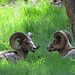 These bighorn rams found a nice shaded place to rest - 1774b+