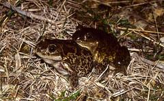 Western Spadefoot Toads (Pelobates cultripes) pair in amplexus ...