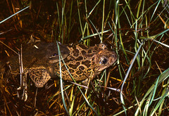 Western Spadefoot Toads (Pelobates cultripes) pair in amplexus in the pond ... - Photo of Le Pouget