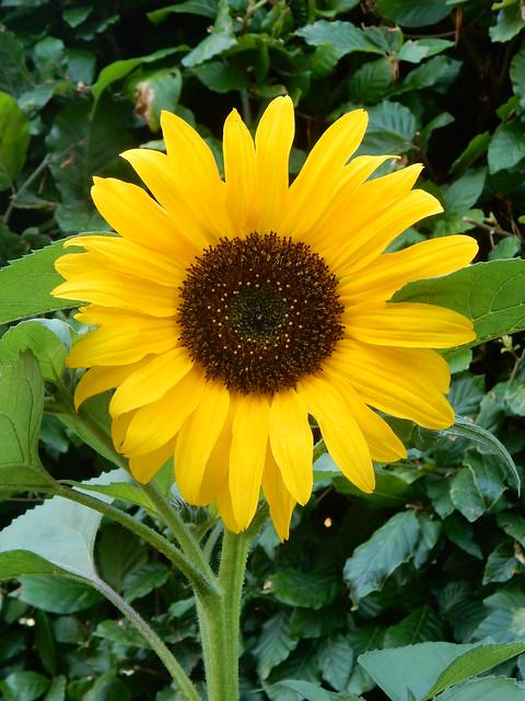 Sunflower Helianthus , Bishop, Nikon COOLPIX S9700