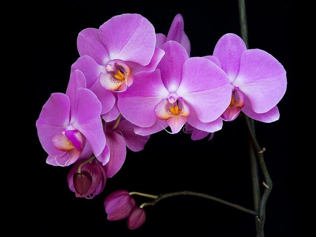 Orchid, Nikon D7100, Sigma 18-35mm F1.8 DC HSM