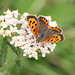 Small copper_4154