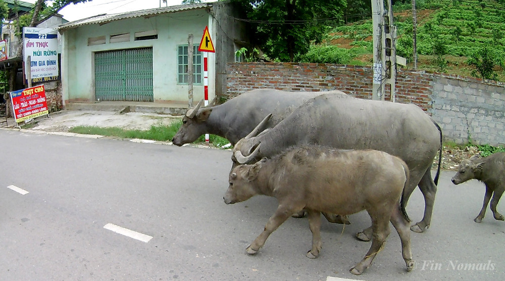 bulls on road