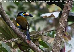 Plate-billed Mountain-toucan Andigena laminirostris