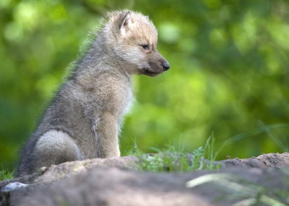 Fenrir by Arctic Wolf cub