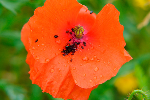Small black beetles on poppy, Bantock Park
