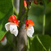 runner bean flowers and fly_edited-1