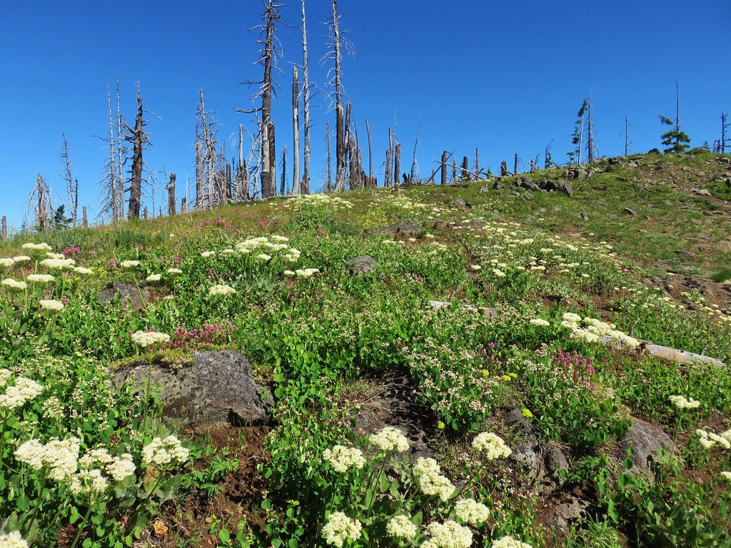 Wildflowers on Chucksney Mountain