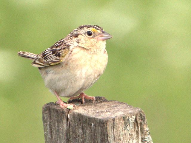 Grasshopper Sparrow 02-20170724